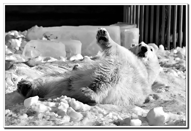 老张喜爱摄影作品:据说北极熊没有天敌