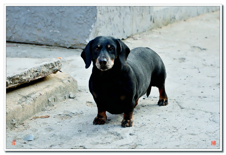 老张喜爱摄影作品:是腊肠犬吗 ?真肥 !