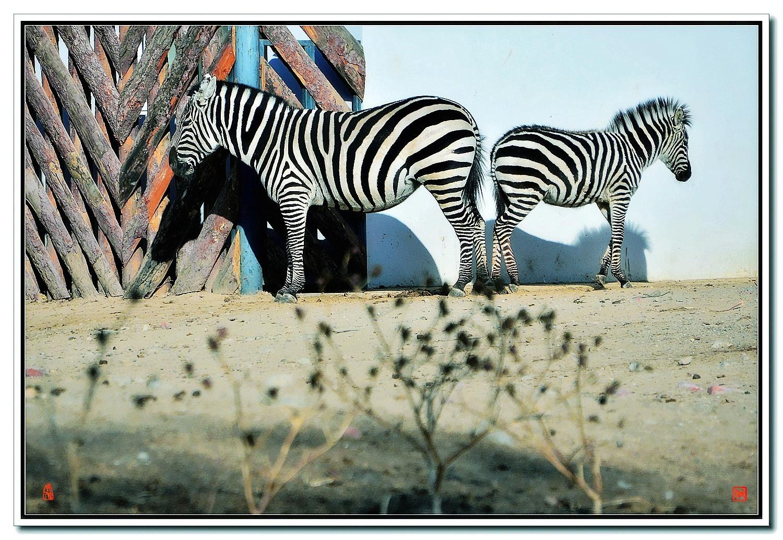 老张喜爱摄影作品:老斑马与小斑马