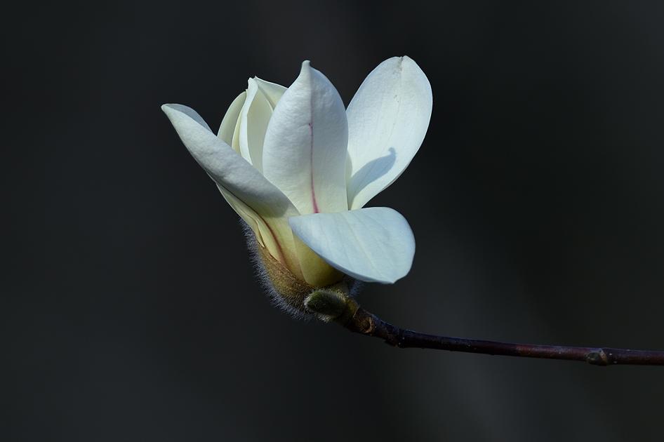 周厚瑶作品:山野玉兰花