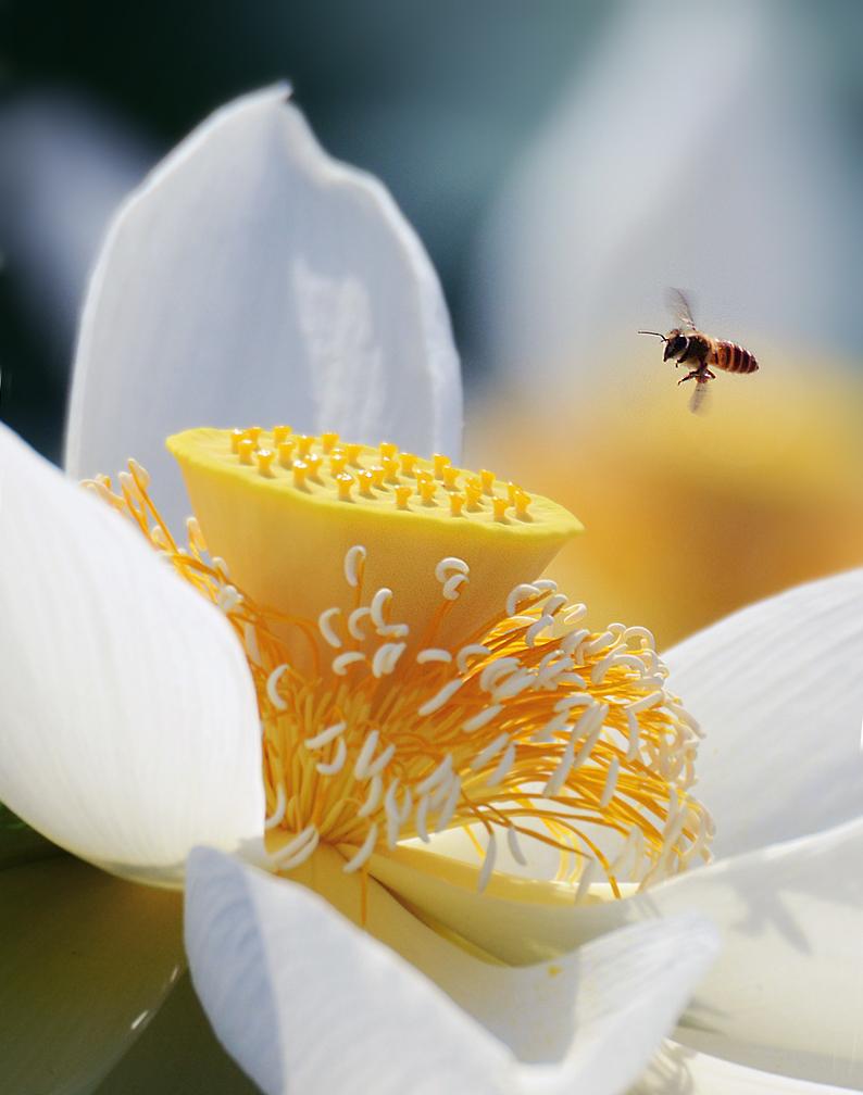 新摄影的胖老头作品:蜂与荷1