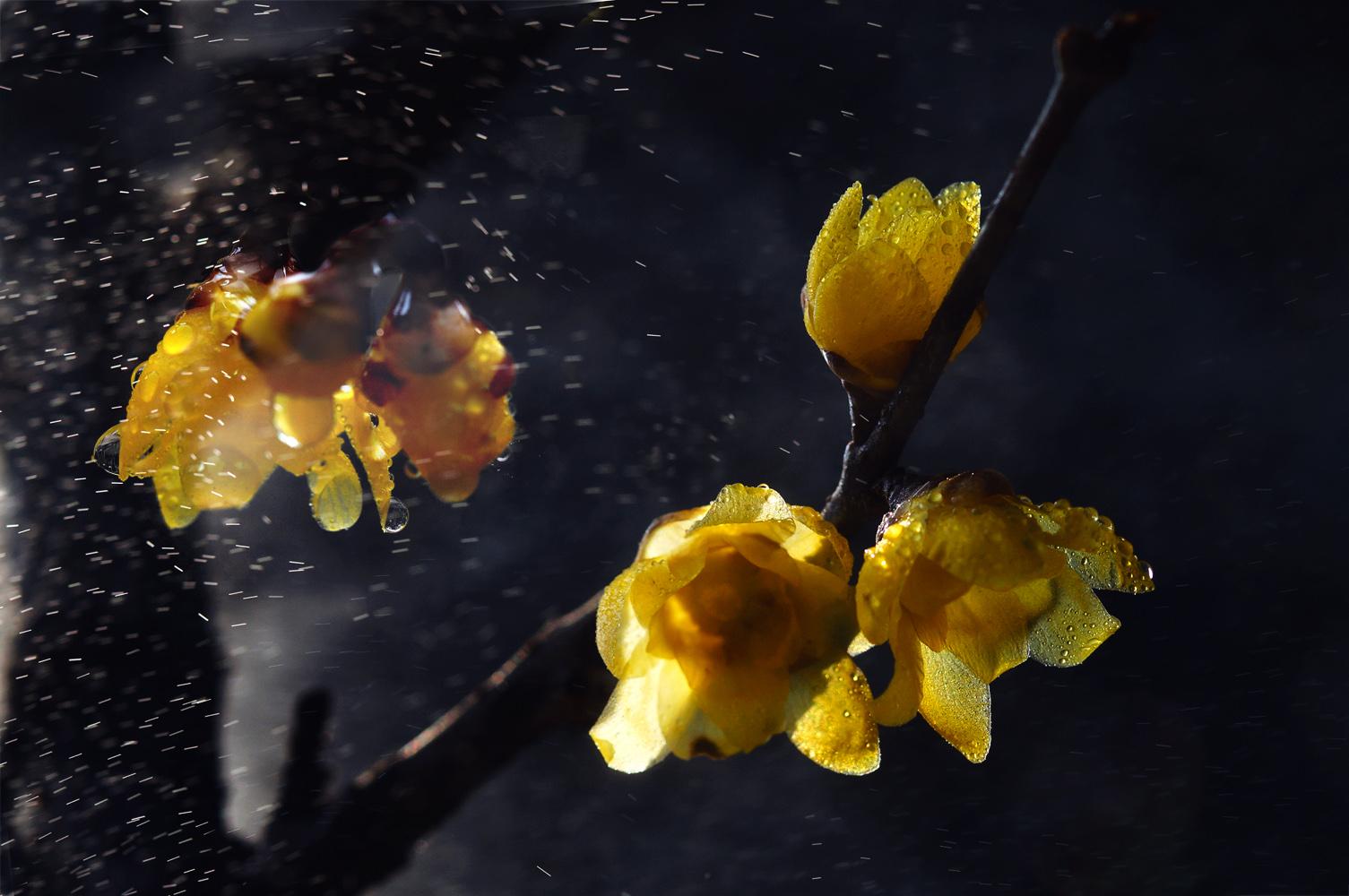 心色彩作品:雨夜蜡梅
