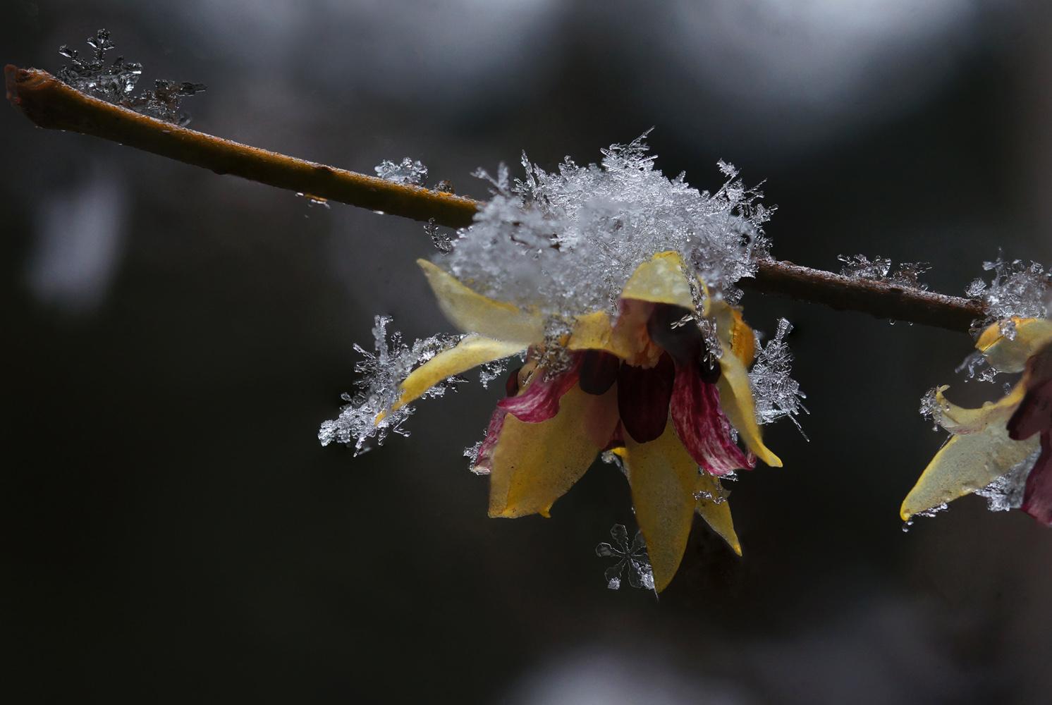 心色彩作品:梅花与雪花