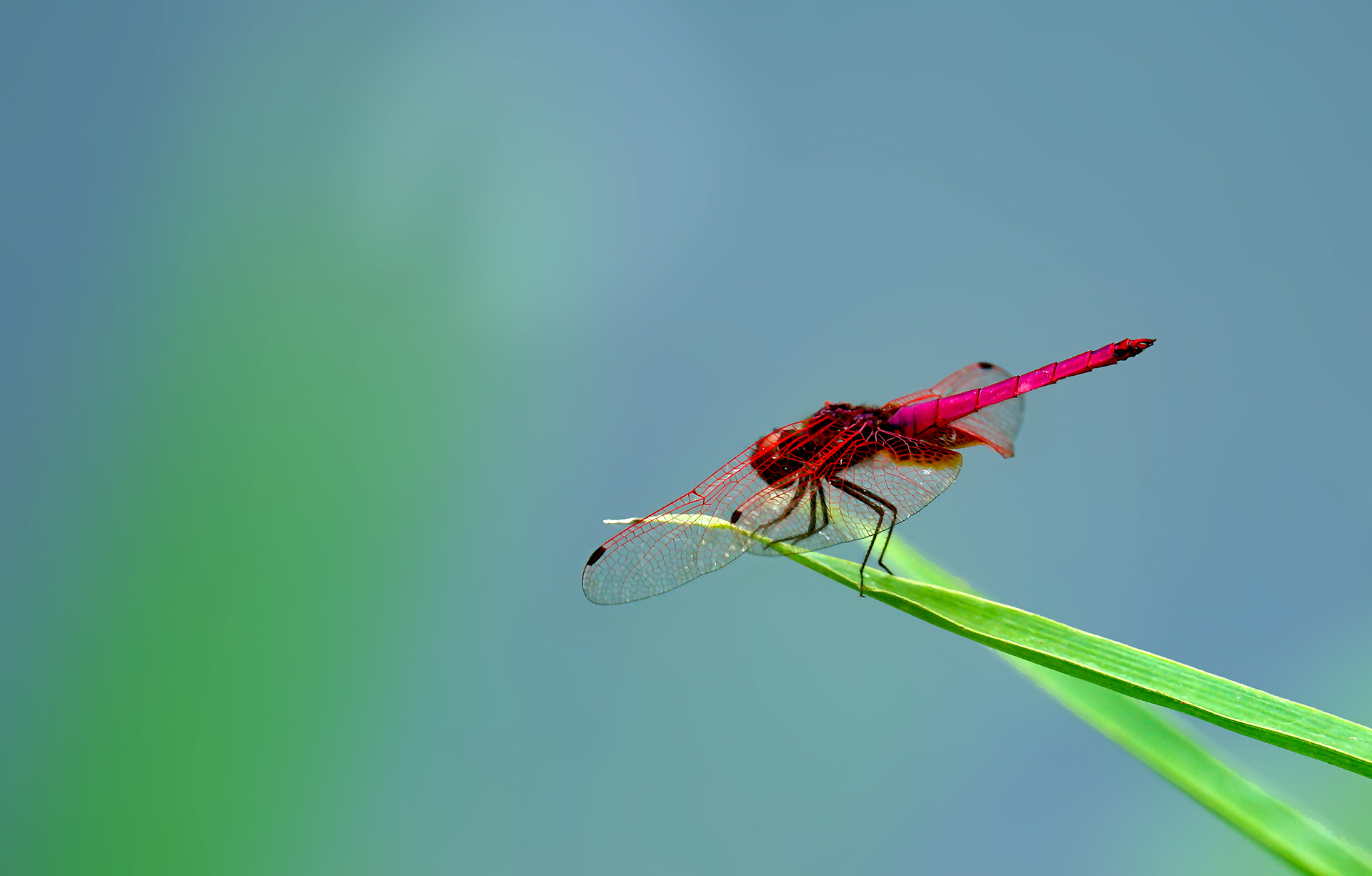 fjhutu作品:红蜻蜓