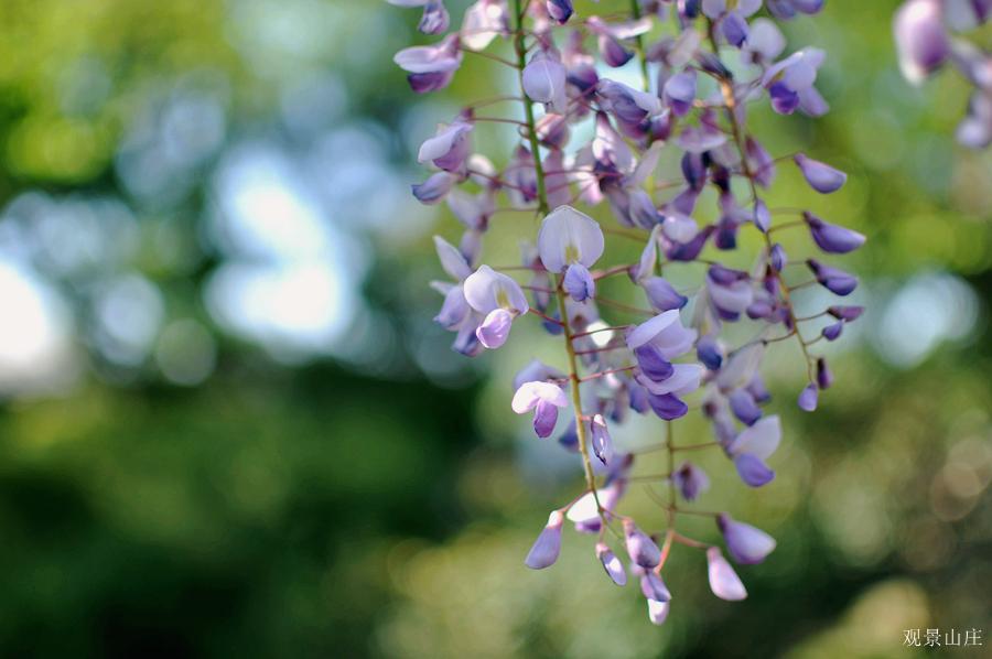 观景山庄作品:紫藤花