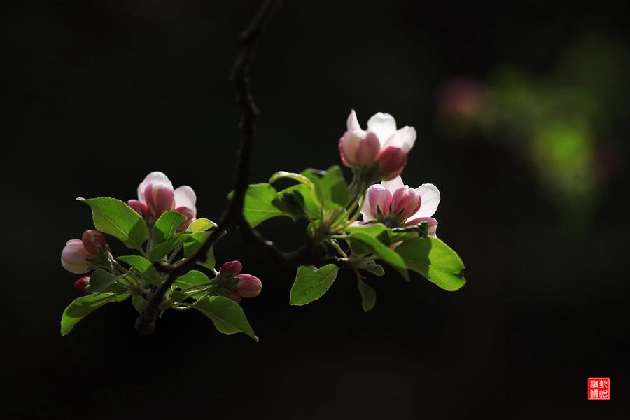 乾坤清境作品:海棠花