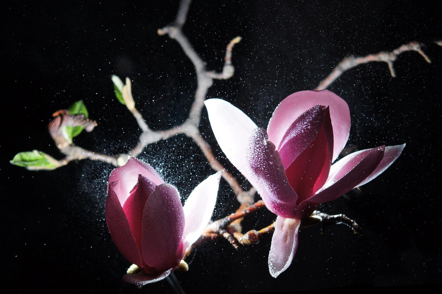 心色彩作品:春宵玉兰