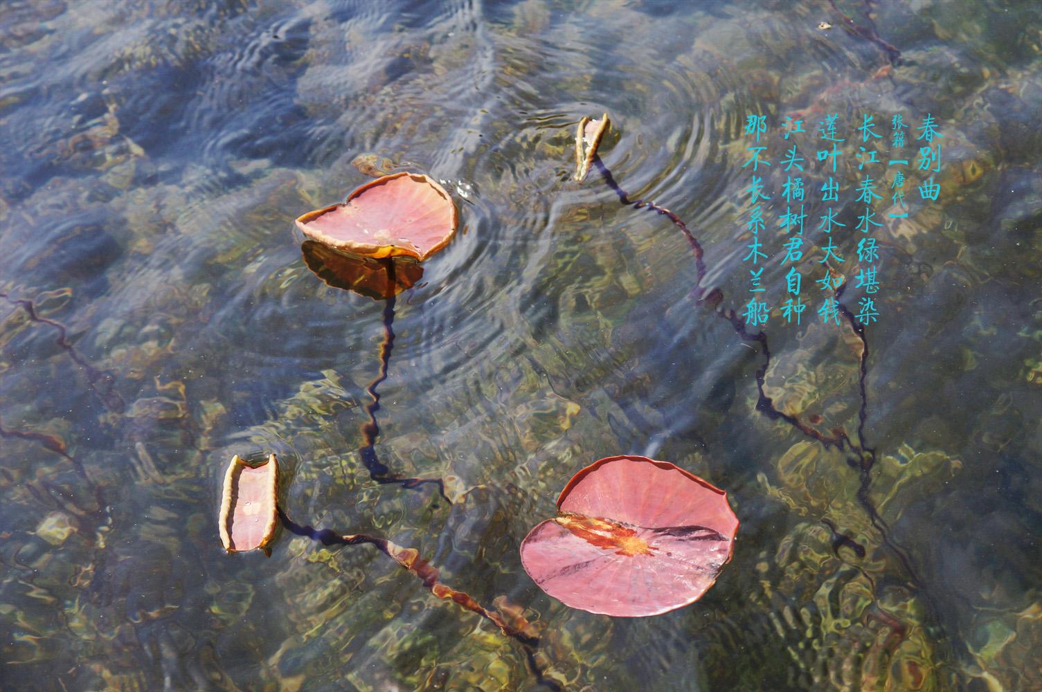 心色彩作品:莲叶出水大如钱