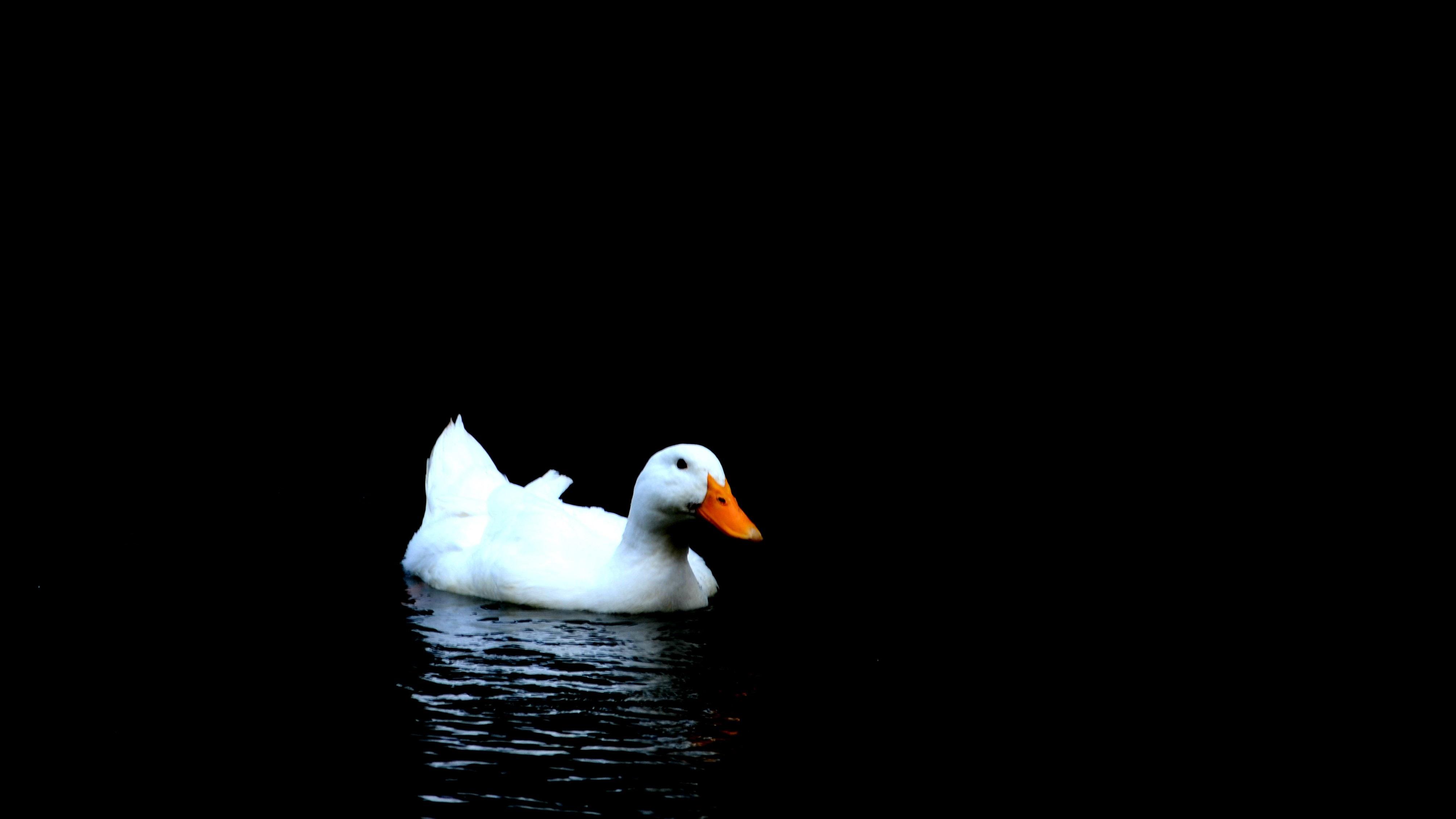云旗作品:白鸭