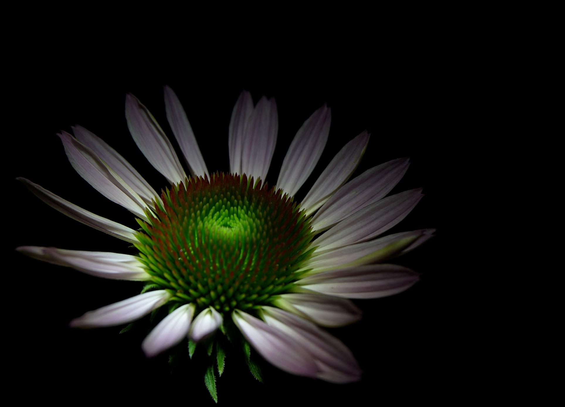 常樂1作品:非洲菊