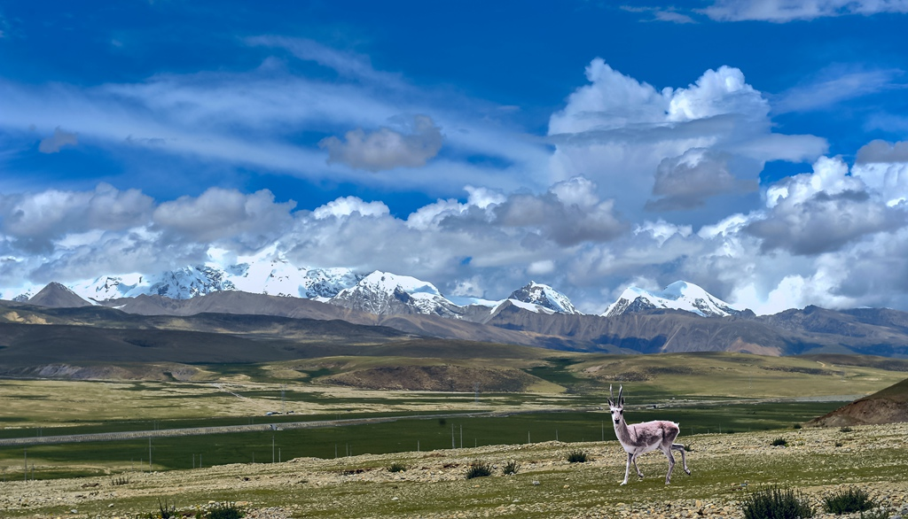 盛世太平2作品:藏羚羊