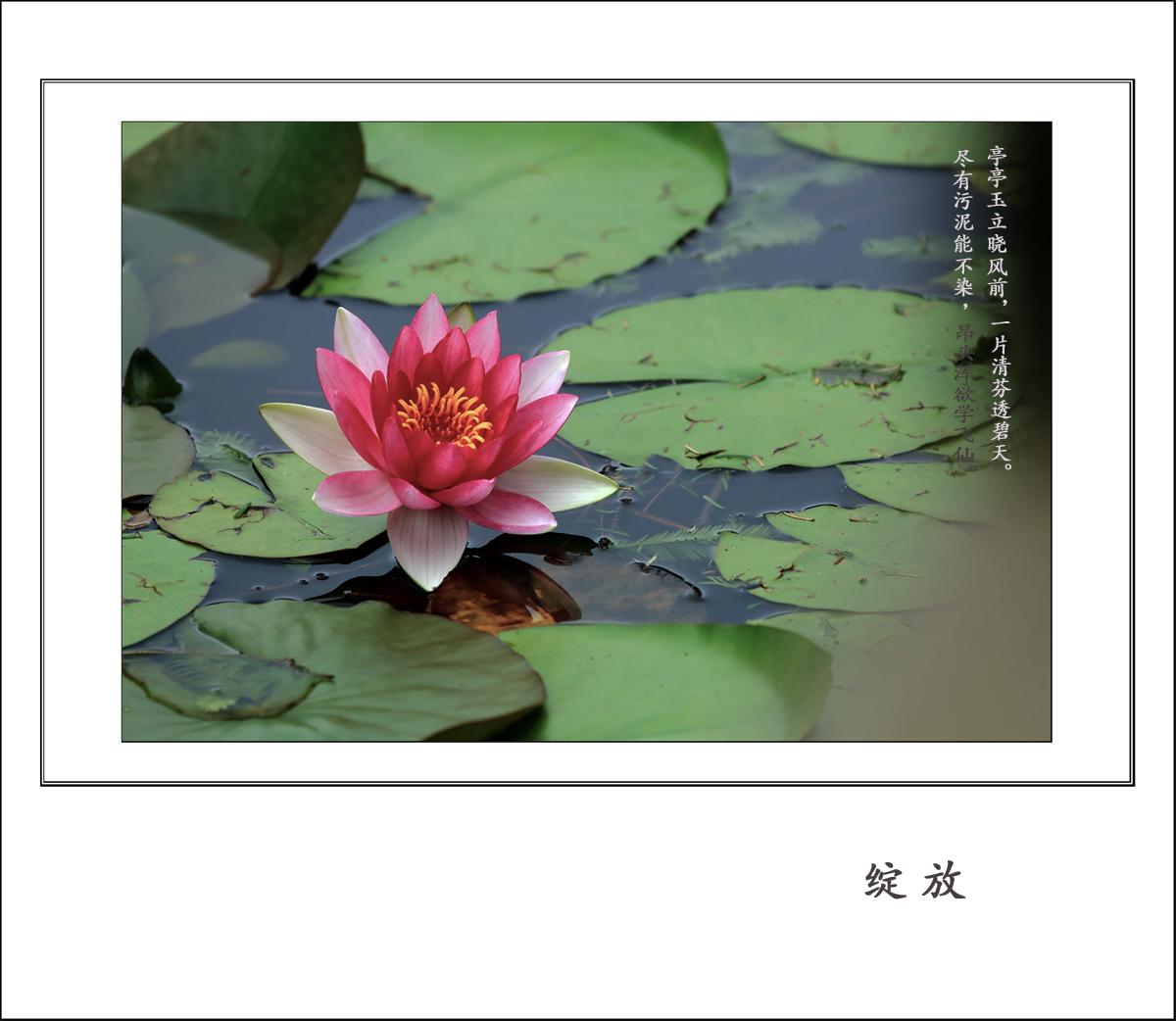 微微青山作品:睡 莲