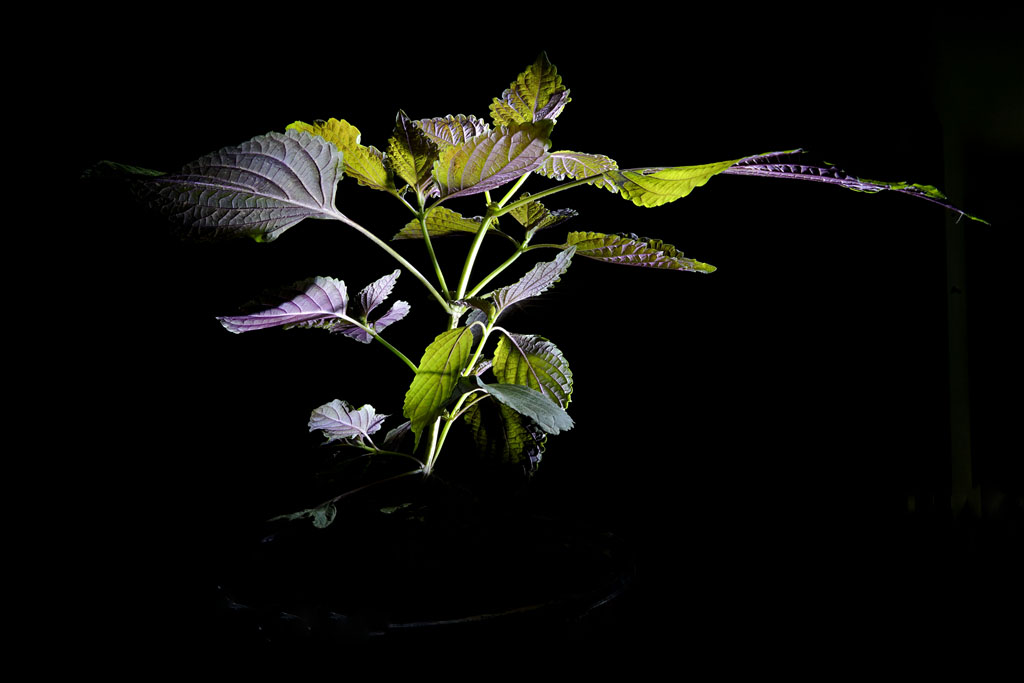 lihuizhi作品:紫苏与苋菜