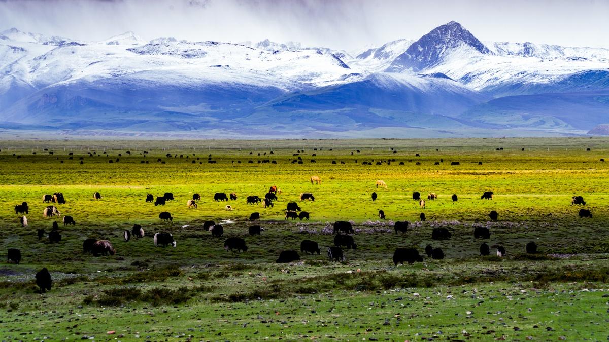 摄影含沙作品:牛羊遍地福满山