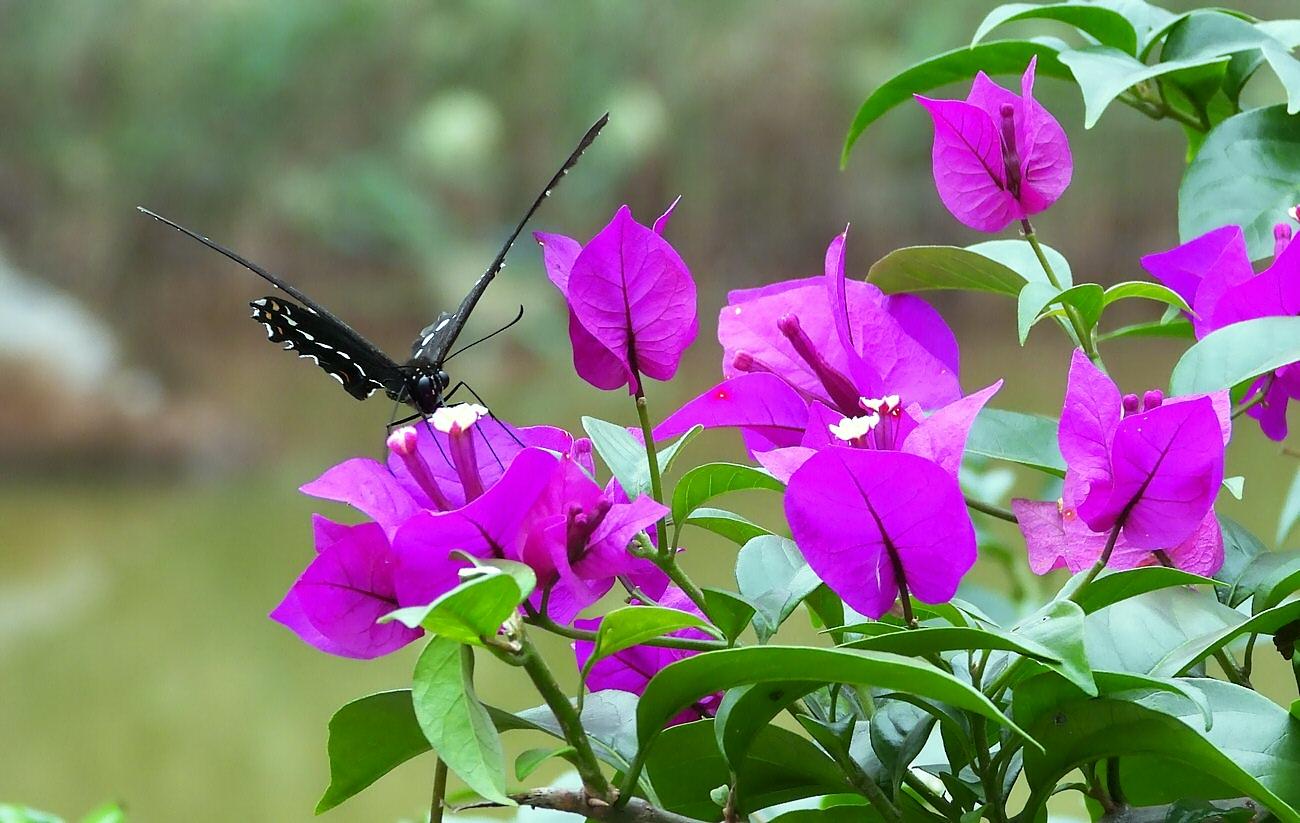 panshiyuan作品:蝴蝶与三角梅---