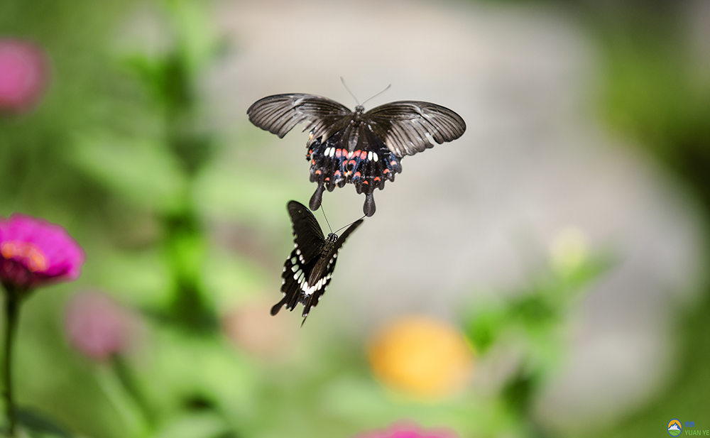 原野022022作品:飞舞游戏的蝴蝶