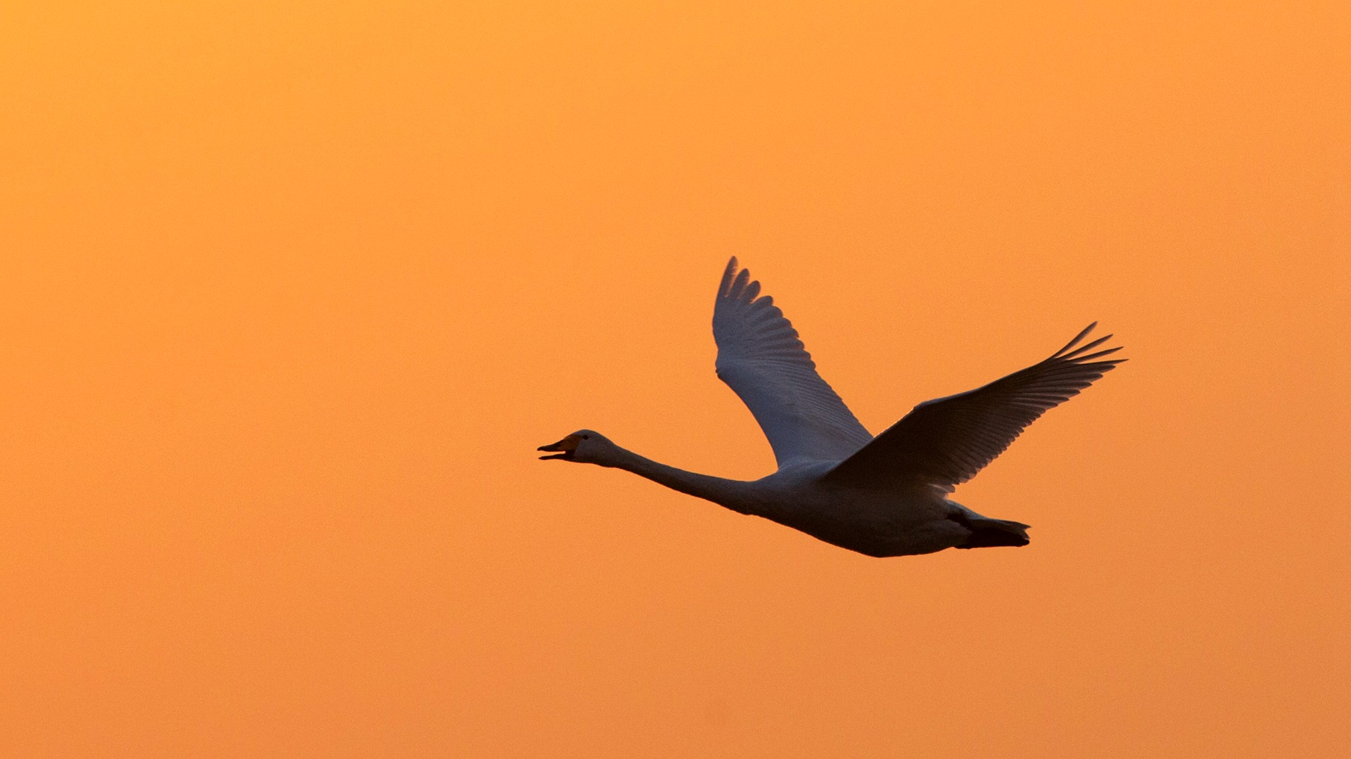 spoo作品:晨曦里的天鹅湖.....