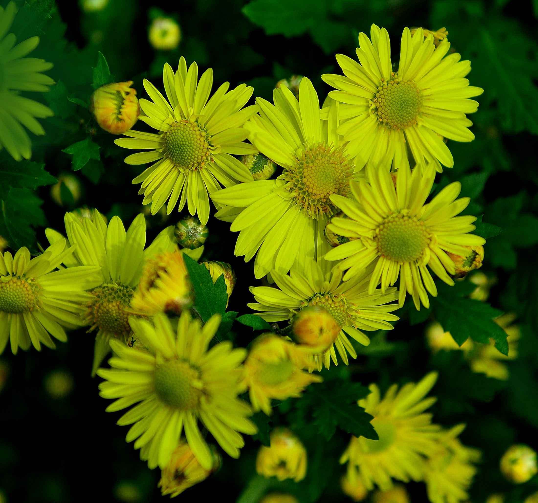 ydq3773作品:好漂亮的菊花