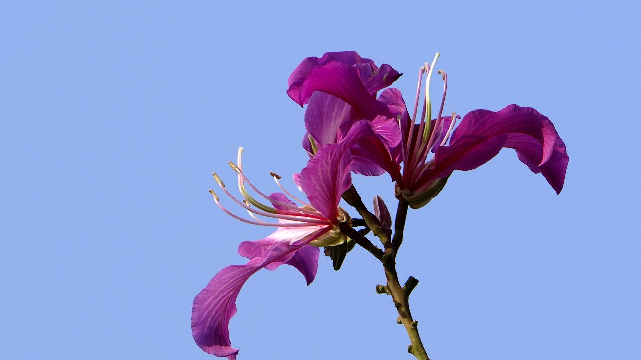 奥巴牛作品:绽放的紫荆
