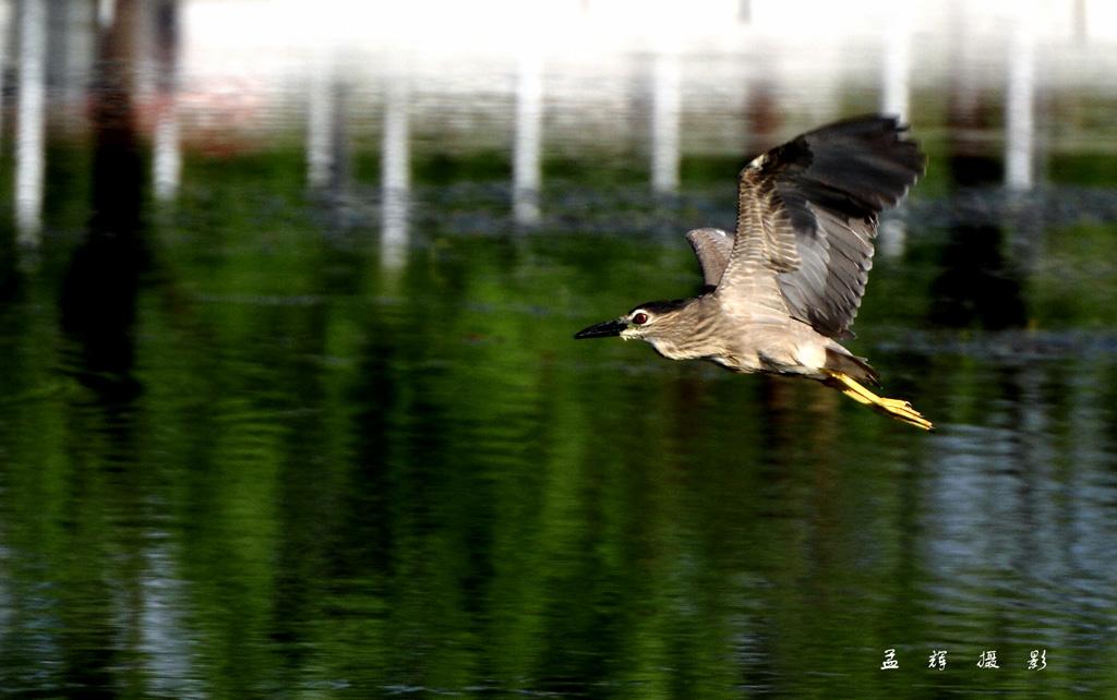 孟辉作品:飞翔的夜鹭