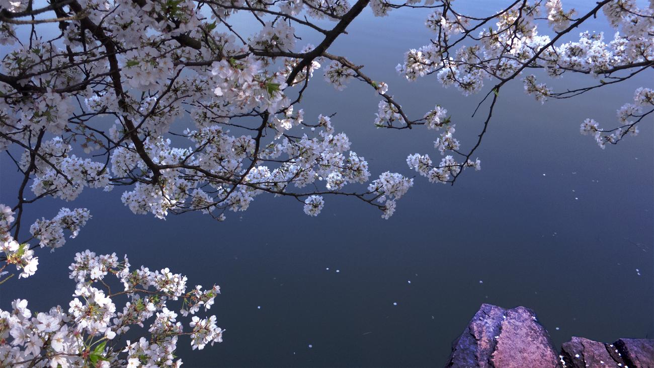 奥巴牛作品:樱花时节