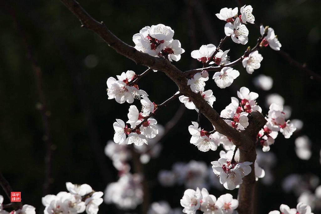 乾坤清境作品:杏花如雪