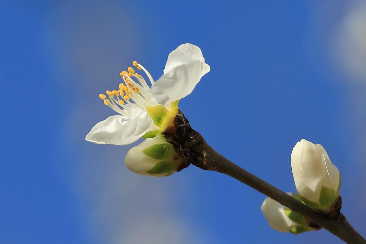 早上不睡作品:早春的桃花