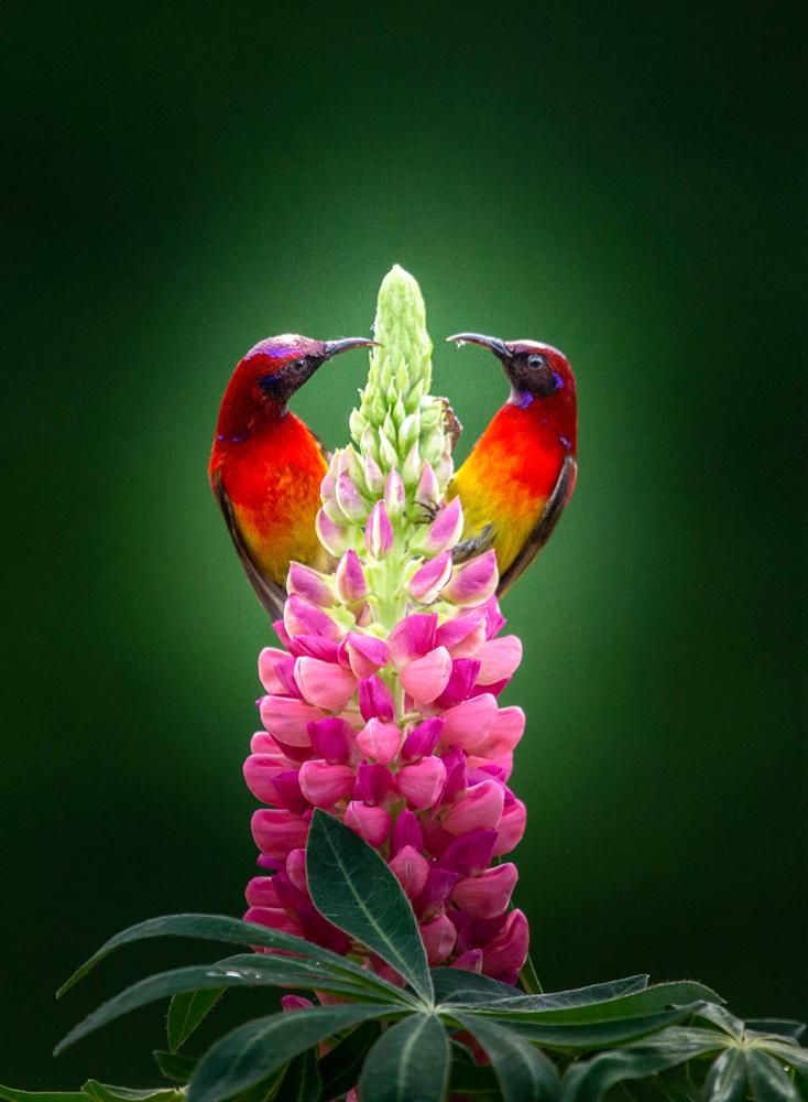 鲁北榕树作品:太阳鸟的夏天