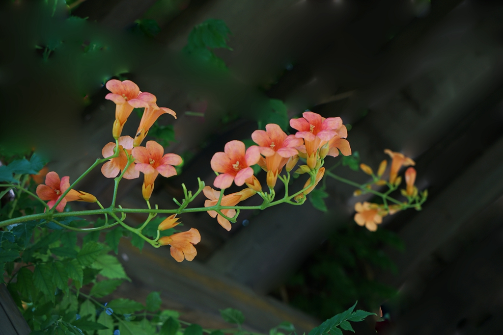 lihuizhi作品:凌霄花