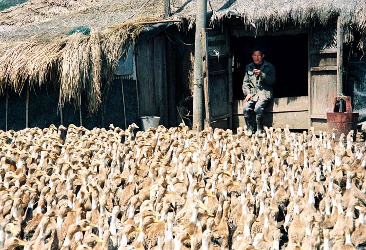 余迎霞作品:鸭司令