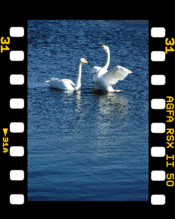 T5摄影作品 两只天鹅图片