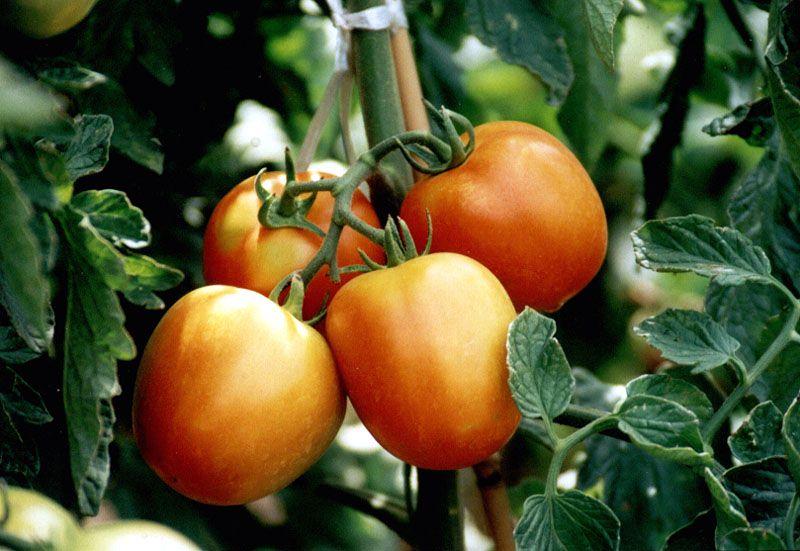 xyg作品:西红柿