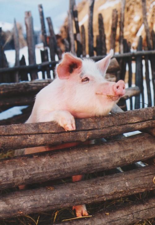 李洪君作品:小猪