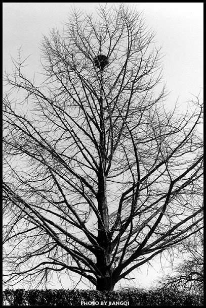 jiang777作品:2.树上的鸟窝