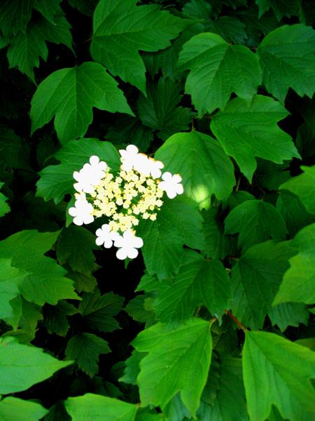 67MM作品:绿叶与白花