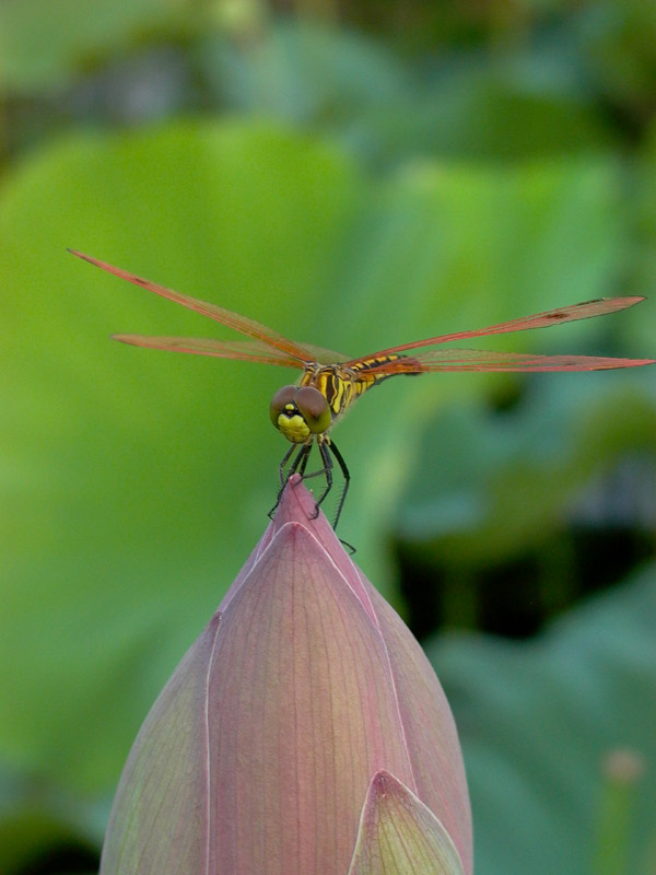 影子rx009作品:蜻蜓