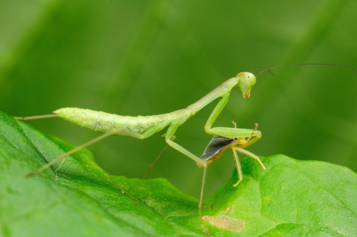 螳螂_自由单人:微距昆虫摄影技巧(5) - 摄影旅游频道
