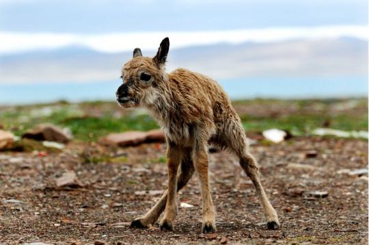 出生不久的小藏羚羊尝试着站起来